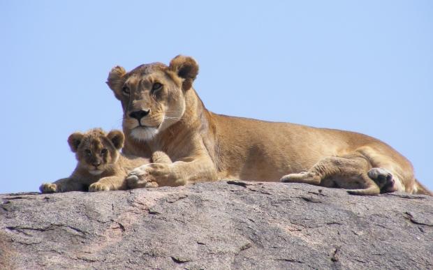 lions_africa_safari_cub_111747_3840x2400