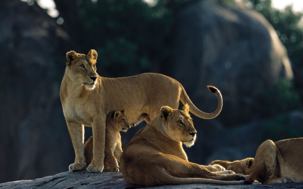 lions_rocks_down_family_hunting_predators_56368_3840x2400.jpg